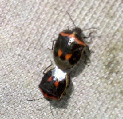 Twice-stabble stinkbug. Source: Mike Dolinski