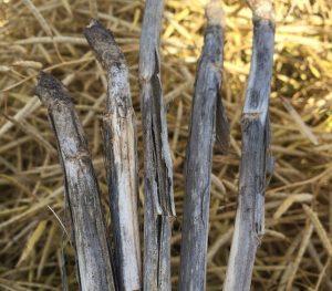 Verticillium on canola stems. Credit: Justine Cornelsen