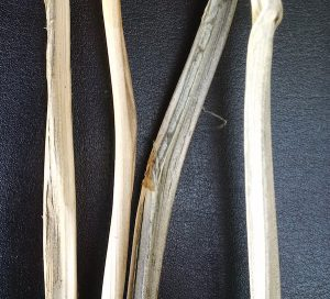 Close up of infected stems. Credit: Vikram Bisht, Manitoba Agriculture
