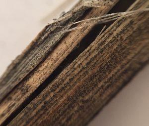 Verticillium microsclerotia under the first layer of canola stem skin. Credit: Justine Cornelsen
