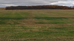 This photo of volunteer wheat germinating shows gaps where the spread width of the combine didn't match the cut width.