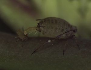 Aphid giving birth.