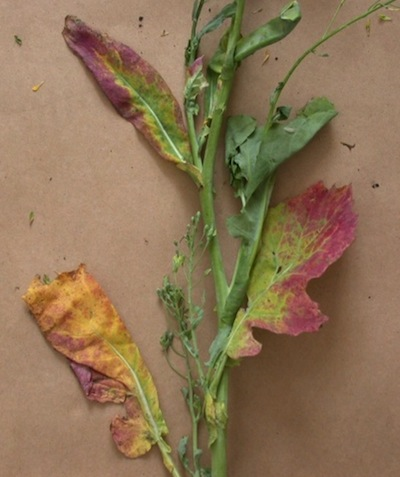 These are less typical signs of aster yellows. Usually you'll see the deformed bladder-like pods. Source: MAFRI