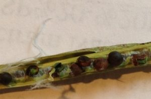 Aster yellows can cause misshapen and malformed seeds, which often shrivel up and blow out of the combine. These can occur in pods that otherwise look normal.