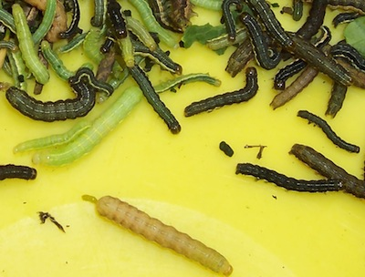 Bertha armyworm has many colour patterns, but all have the orange stripe down each side.