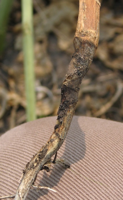 Blackleg cankers that cause serious yield loss will look like this on mature plants. If you cut through the stem, you'll find it almost completely black.