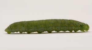 Cabbage butterfly larva. Credit: Alberta Agriculture and Forestry