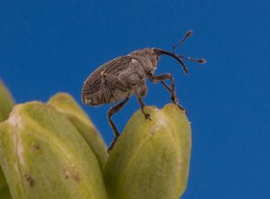 Cabbage seedpod weevil. Credit: S.J.Barkley, Alberta Agriculture and Forestry