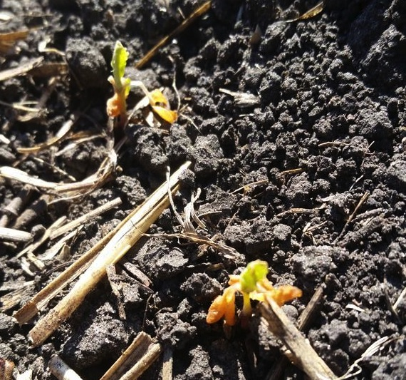 Canola recovers from heavy frost. Photo credit: Terry Betcher