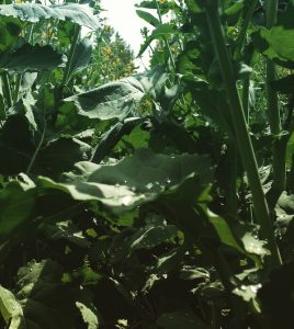 At risk: A moist canopy and good yield potential.