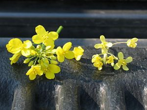 Sulphur deficient flowers on the right, normal on the left.
