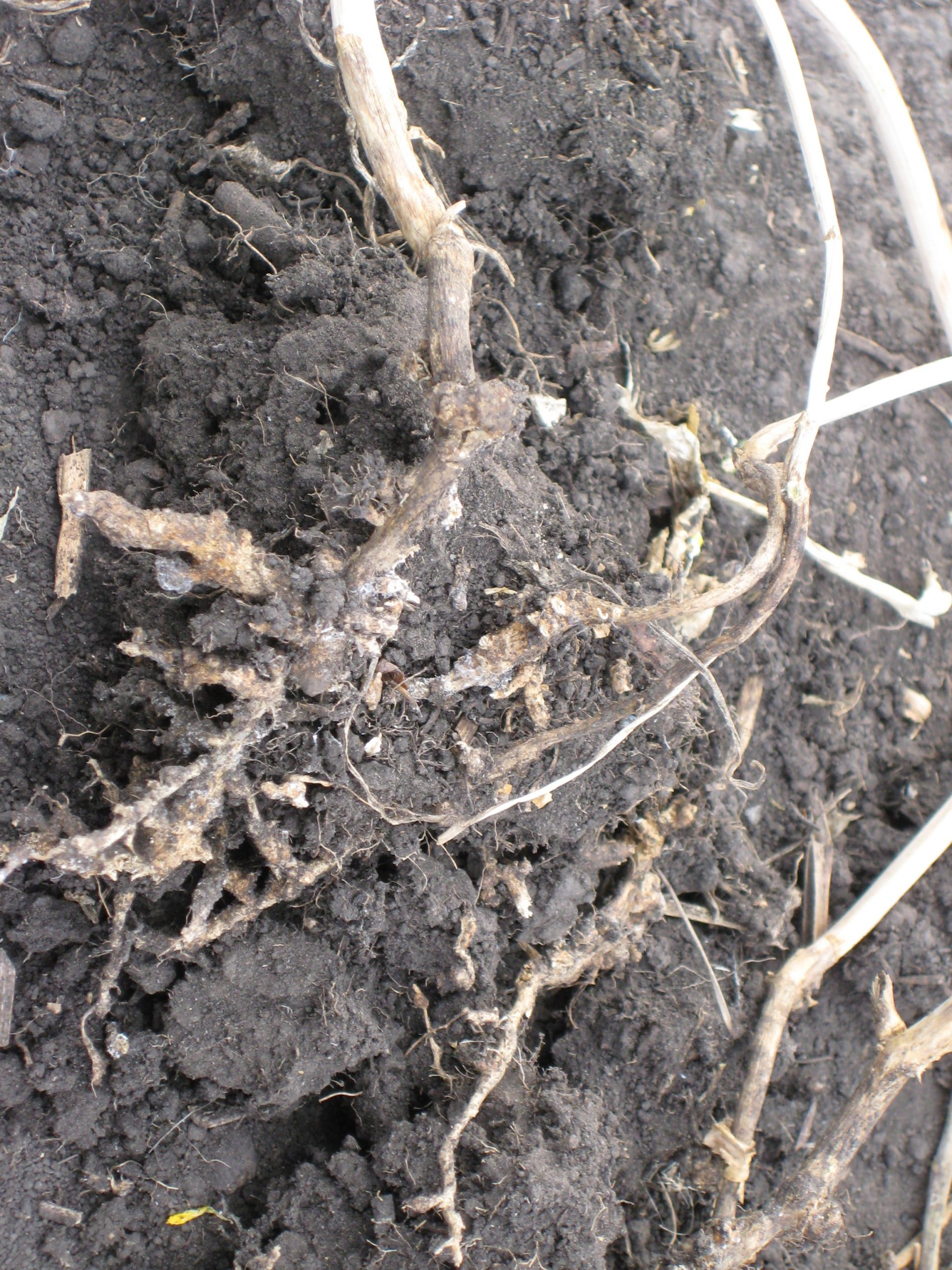 cw2-image-diseases-clubroot-galls-necrotic-1-martinkat