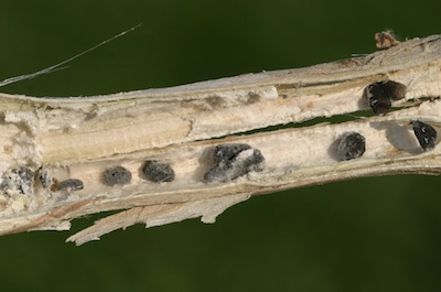 Sclerotia inside the stem. Source: Beth Hoar