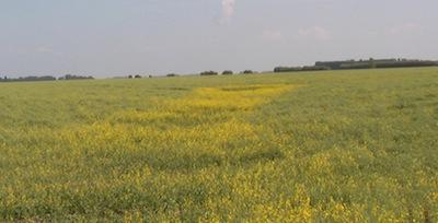 cw2-image-harvest-management-field-podded-low-area-flowering-2-martinkat