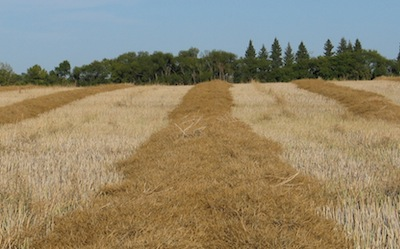 cw2-image-harvest-management-swathed-field-1-hammondd