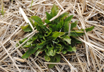 Overwintering dandelions can be a host for aster yellows phytoplasma.