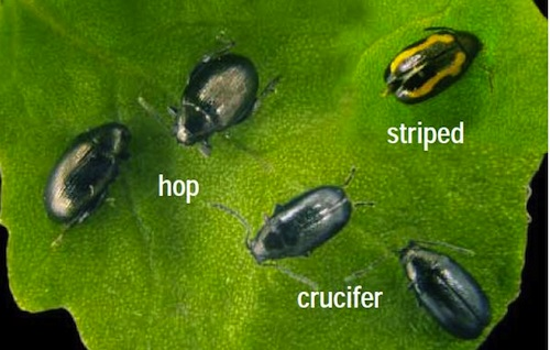 The three flea beetle species found on the Prairies: hop, crucifer and striped