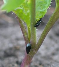 Flea beetles can move lower in the plant on cool, cloudy days. Damage to stems can be more costly than leaf damage.