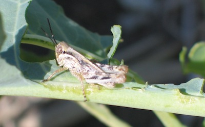 grasshopper feeding small