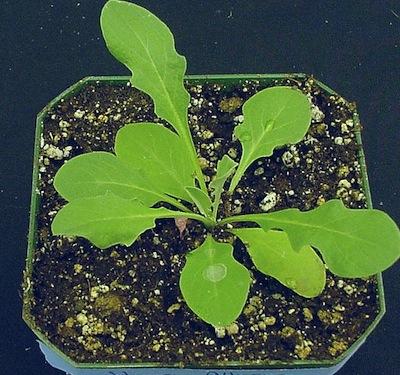 Hoary alyssum seedling. Source: Clark Brenzil