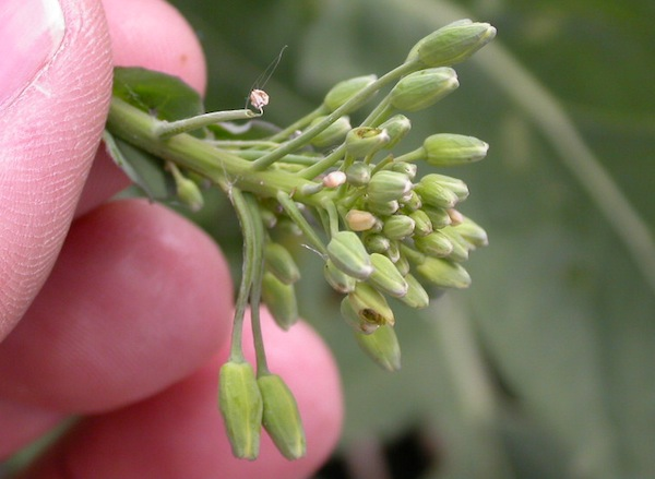 Insects tend to damage only a few buds per cluster. If all are damage, something other than insects is the likely cause.