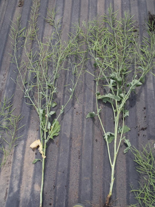 This shows the reduced vigour and seed set associated with a late glyphosate application (left) versus no late application (right).  Photo credit: Tess Strand