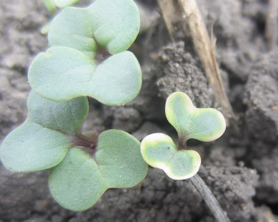 Here is one halo'ed cotyledon on May 24.