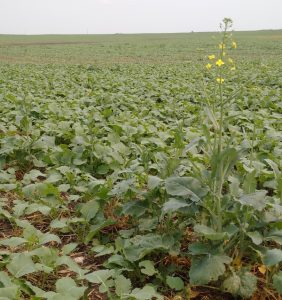 Many canola crops have plants at multiple stages of growth. This field was reseeded due to frost, but some of the originals survived.