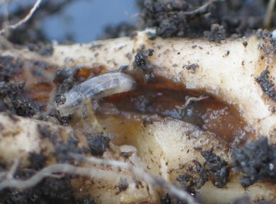 Root maggots can increase dramatically in canola on canola rotations.