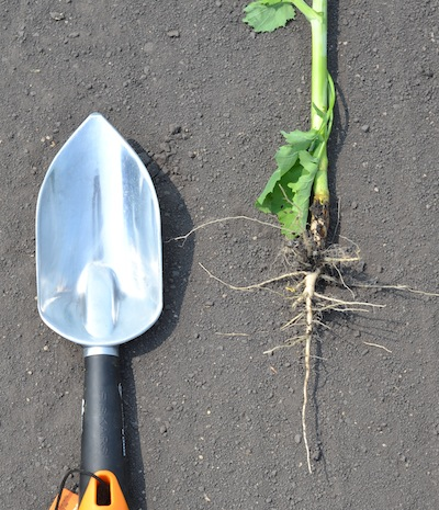 root growth small