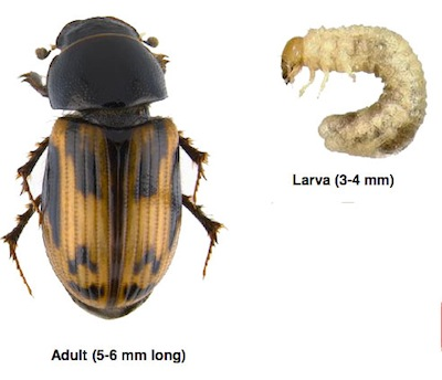 Scarab beetle. Source: AAFC