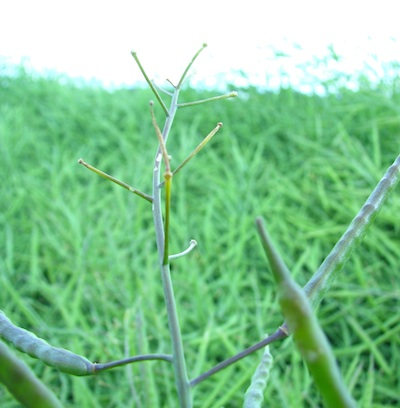 Missing or stunted pods at the top of this plant are likely due to heat stress. The plants look fine otherwise.