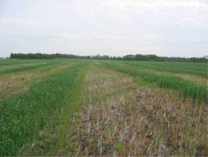 A case where potassium washed from canola windrow resulted in clear patterns in the following wheat crop. Source: John Heard