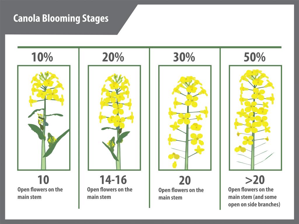 canola flowering (blooming) guide