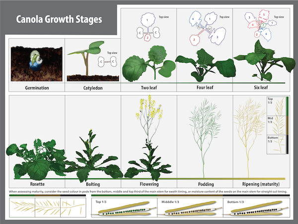 canola growth stages