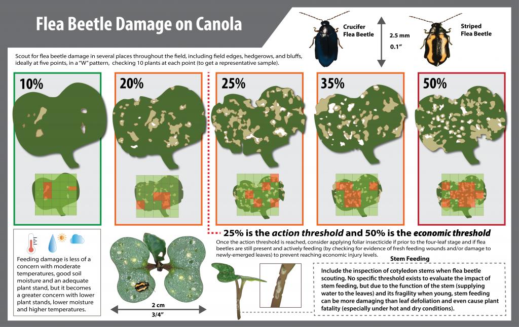 Flea beetle damage on canola