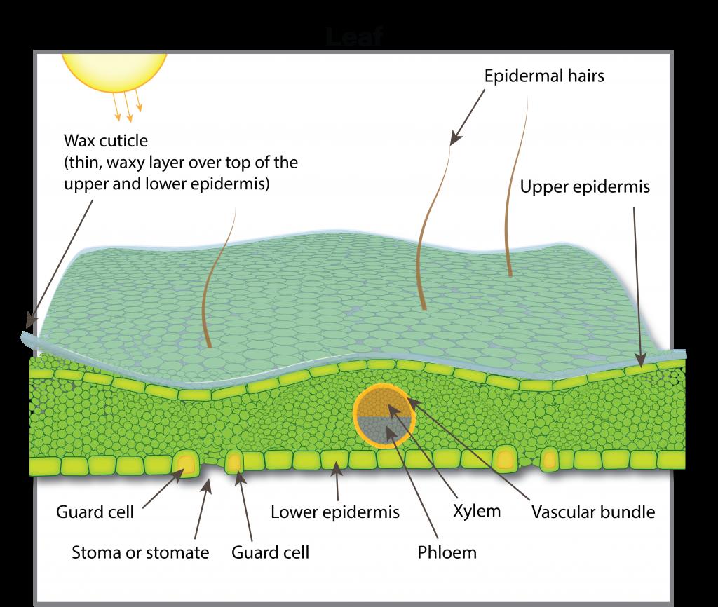 canola leaf cross section