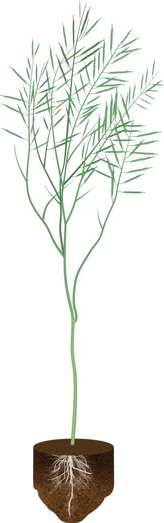 canola plant with soil