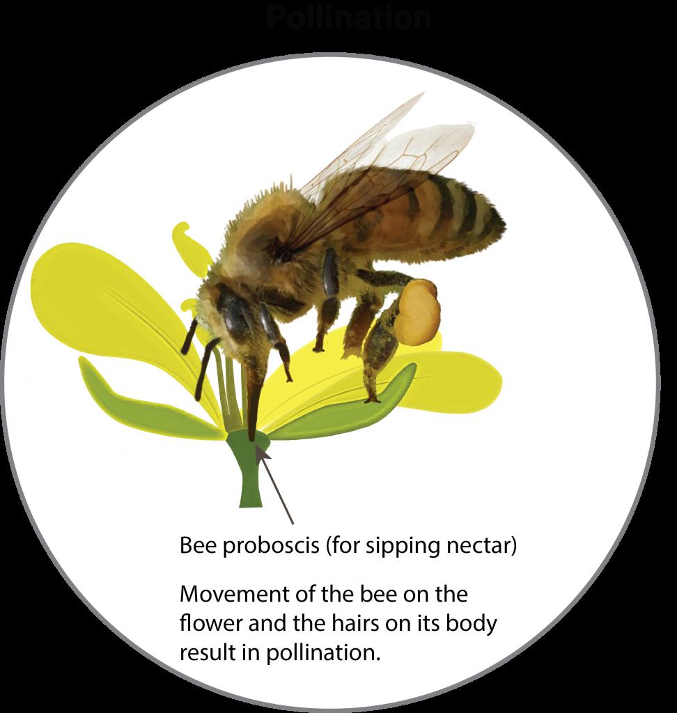 Bee pollinating canola
