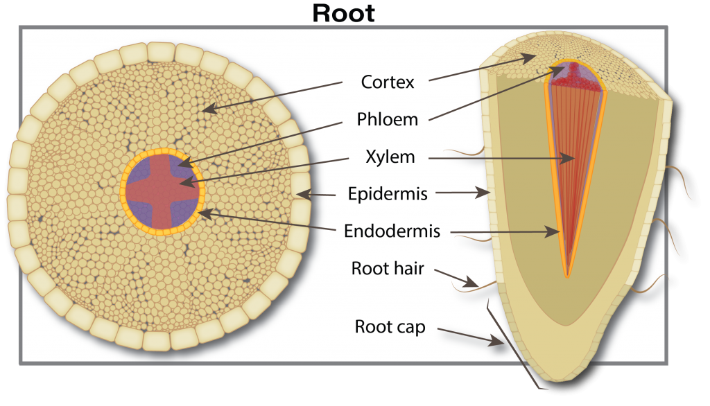 canola root cross section