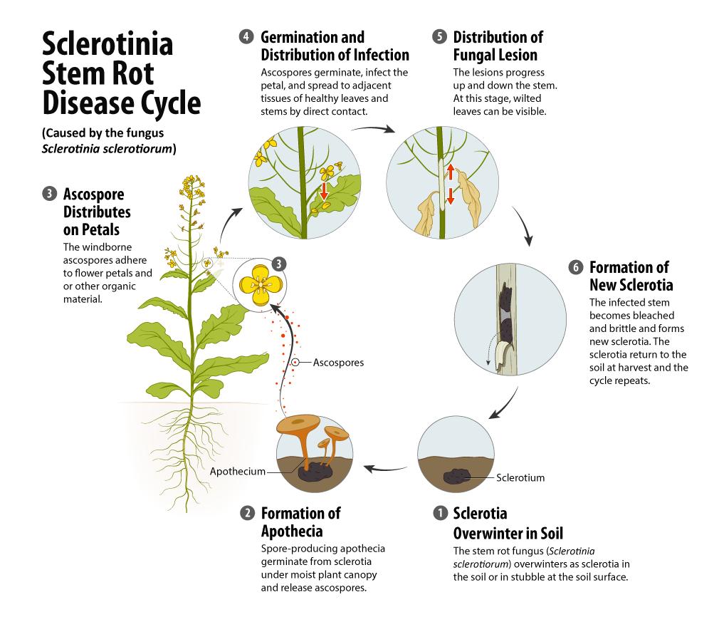 sclerotinia disease cycle