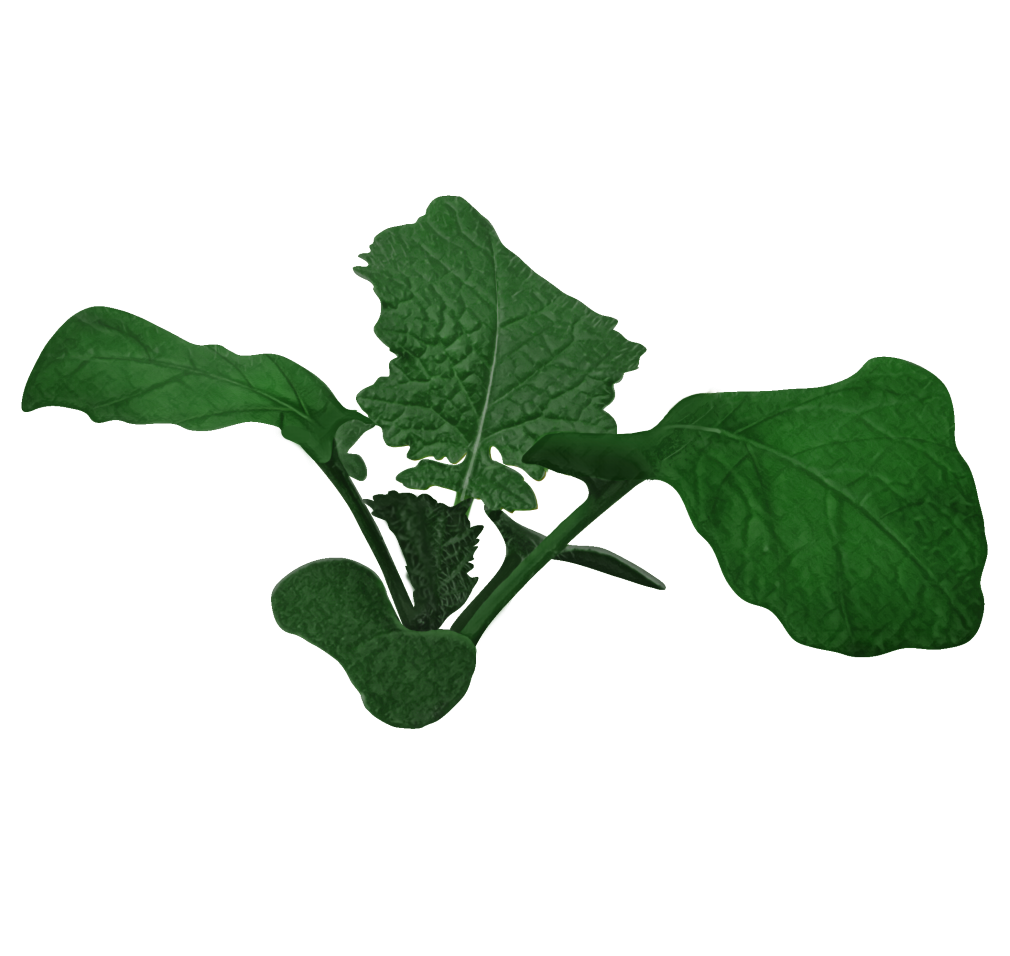 canola plant (vegetative stage)