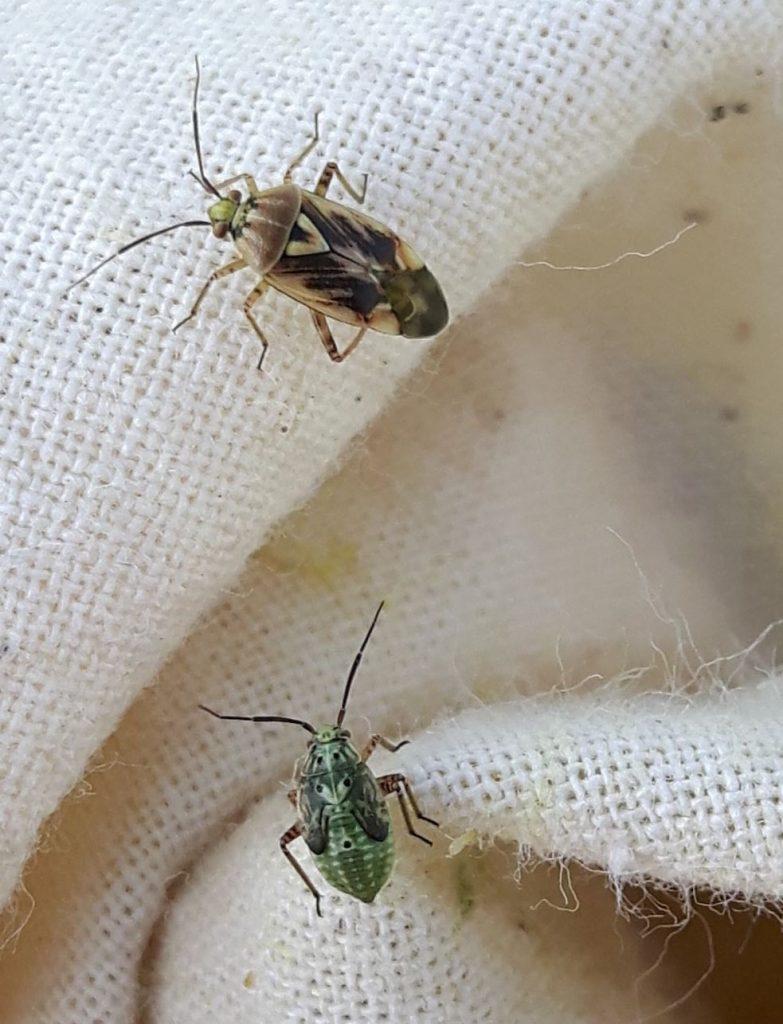 lygus bug in sweep net