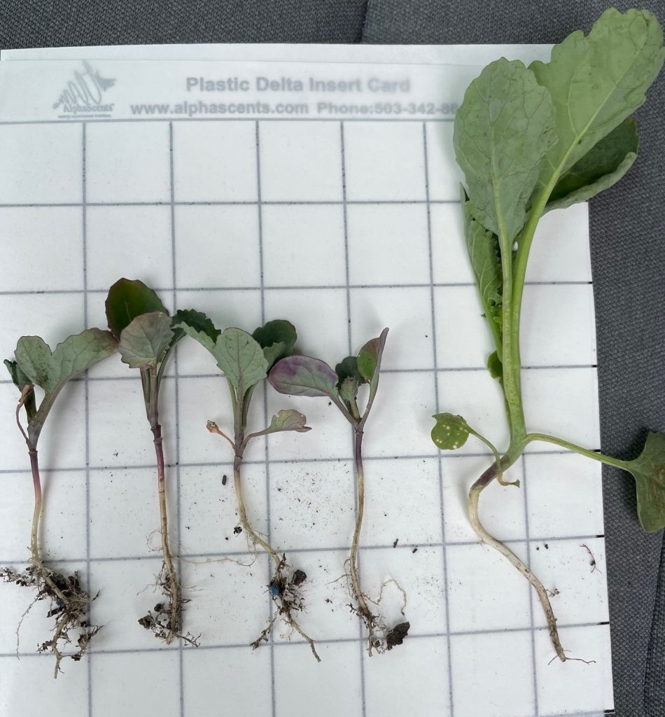 Group 2 (Imazethapyr) damage in non-Clearfield canola compared to healthy canola
