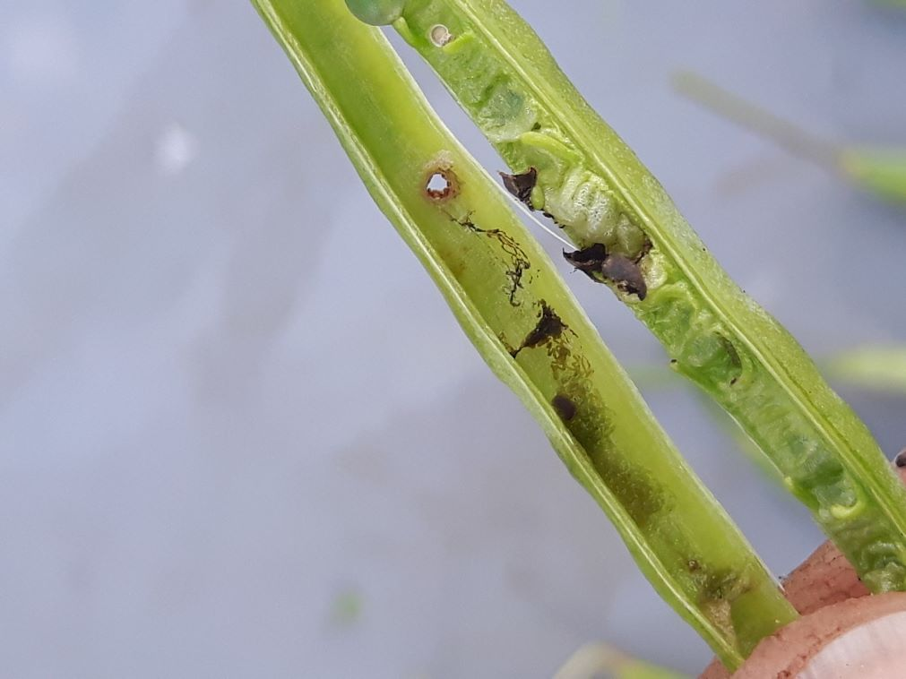 cabbage seedpod weevil exit hole