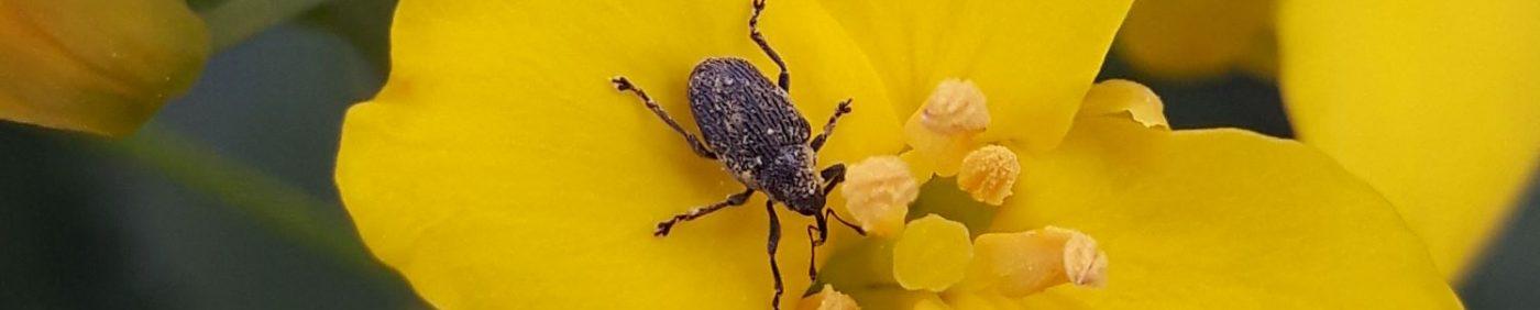 Cabbage seedpod weevil