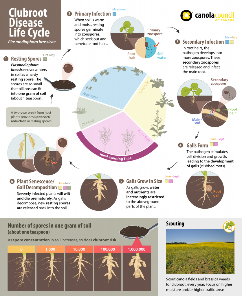 clubroot disease life cycle in canola