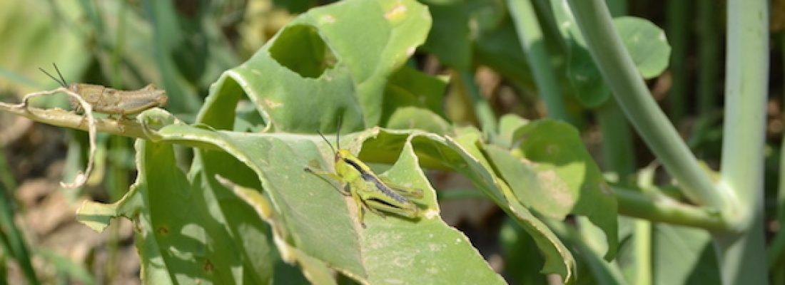 grasshoppers on canola