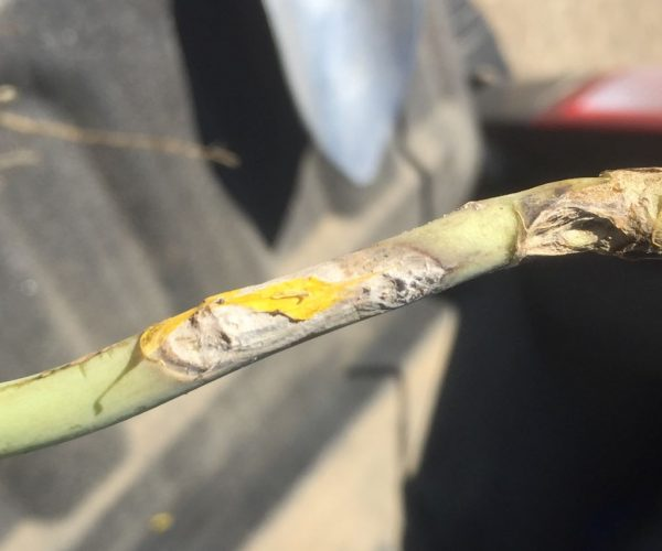 canola stem infected by sclerotinia