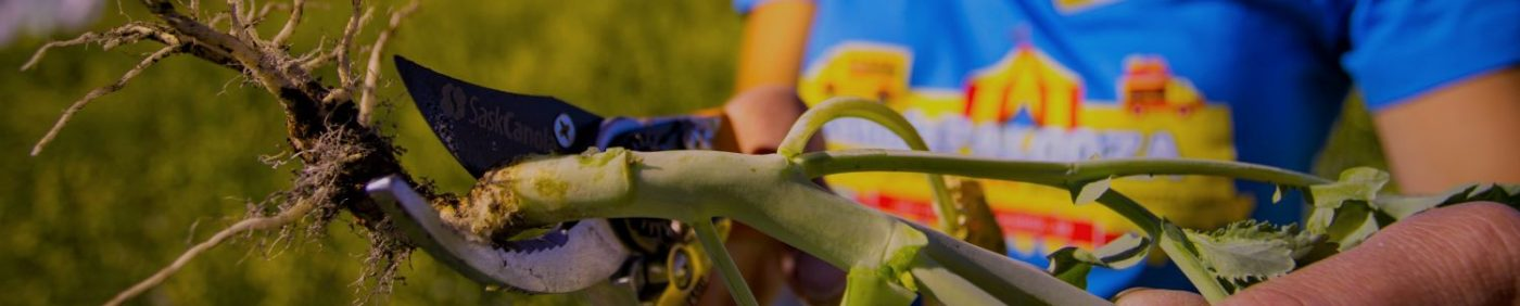 Clipping canola stems to check for blackleg